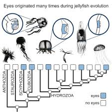 Pax Vision Chart Prolific Origination Of Eyes In Cnidaria With Co Option Of