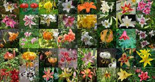 100 lily flowers varieties names and