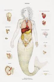 mermaids  a mermaid and anatomy on pinterestmedical diagram of internal organs of a mermaid  tumblr kqwfri is qzpjzj jpg