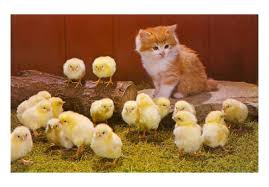 Cat with Fluffy chicks