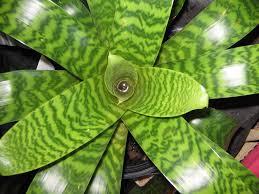 Vriesea terraria