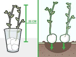 Green Bean Growth Chart How To Grow Beans In Cotton 14 Steps Wikihow
