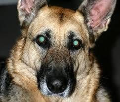 Why Do My Dogs Eyes Glow In The Dark