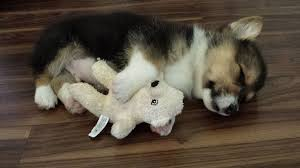 corgi puppy sleeping. Interesting Sleeping Sleeping Corgi Puppy With His Teddy Intended Corgi Puppy P