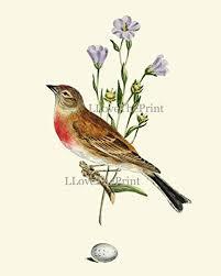 Bird Print House Finch Antique Art Beautiful Birds