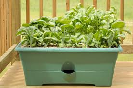 Balcony Kitchen Garden Growing Spinach In Containers Learn About The Care Of Spinach In