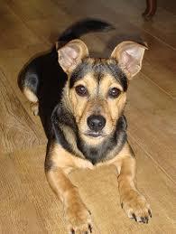 Kortharige honden klein