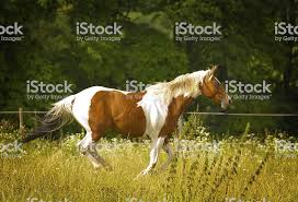 paint horses running in a field. Beautiful Paint Beautiful Paint Horse Running In Nature Royaltyfree Stock Photo For Paint Horses Running In A Field I