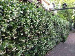 wall of star jasmine, plant near windows so the fragrance blows into the  house!