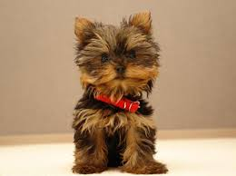 yorkshire terrier haircuts. Beautiful Yorkshire 10 Haircuts For A Yorkshire Terrier  Puppy Style Inside H