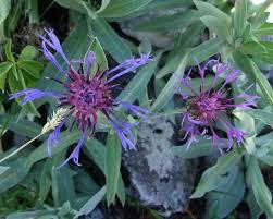 Centaurea triumfetti – Wikipédia, a enciclopédia livre