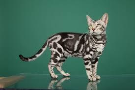 marble bengal cat. Beautiful Bengal Silver Marble Bengal Cat More To Cat Pinterest