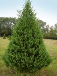 Leyland Cypress Christmas Tree