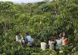 shade grown coffee plantation. Plain Grown Children Playing In Coffee Shade Canopy On Shade Grown Coffee Plantation R