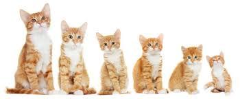 Kitten Growth Chart Your Ultimate Kitten Development Guide Pawsome Talk