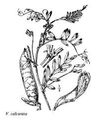 Sp. Vicia calcarata - florae.it