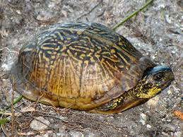 Box Turtles Identification Guide Green Nature