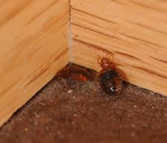 Small Brown Bugs In Bedroom Bed Bug Identification Chart Want To Know If You Have Seen A