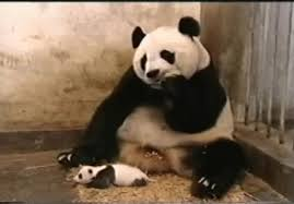 baby panda gif. Modren Panda Baby Panda GIF On Gif Y