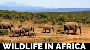 essay on wildlife in africa short essays on famous quotes  essay on wildlife in africa