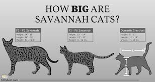 savannah cat chart how big are savannah cats kitty loaf