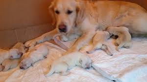 golden retriever newborn puppies. Plain Retriever Golden Retriever Newborn Puppies Intended Retriever Newborn Puppies O