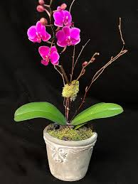 miniature phalaenopsis ad18 3 the perfect little orchid plant for someone s desk or side