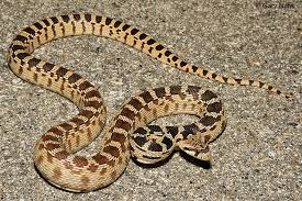 Snake Identification Chart Commonly Encountered California Snakes