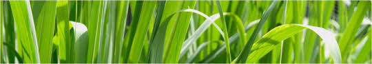 Limonska trava (Cymbopogon citratus) • Vrtnarstvo Stanonik
