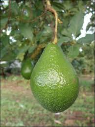 Tree Identification Wildcrafting Forum At PermiesGreen Fruit Tree Identification