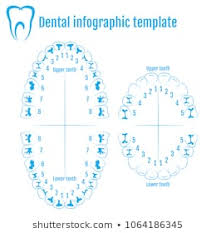 Orthodontic Tooth Chart