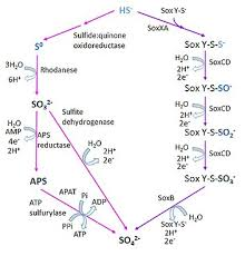 Microbial Oxidation Of Sulfur Wikipedia