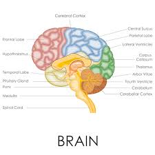 Becoming Mindful Of The Brain And Its Functions Igea Brain