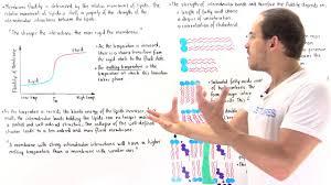 fatty acids regulate membrane fluidity