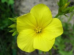 Amazon Com Golden Flax Yellow Linseed Common Linum Flavum
