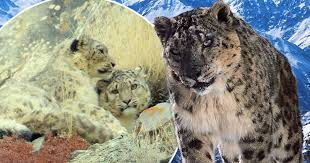 Planet Earth II shocks with footage of snow leopard being raped to ...