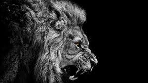 black and white lion wallpaper hd 12381 full hd wallpaper desktop