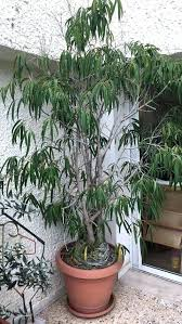 dig outdoor ficus tree dropping yellow leaves plants types care tips and leaf drop of trees