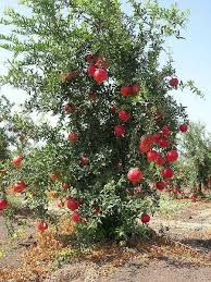 Growing Apples In Home GardenWhen Do Cherry Trees Bear Fruit