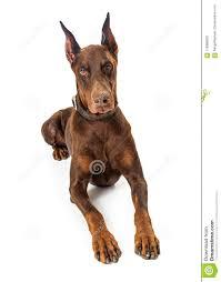 Red Doberman Pinscher Dog Lying Down ...