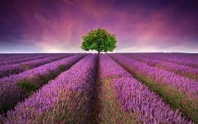 Best Lavender Mac Wallpapers Free HD ...