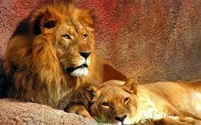 Lions Widescreen - Free Stock Photos ...