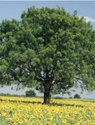 नीम के पेड़ के अचूक फायदे neem tree uses in  neem tree uses in hindi