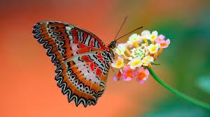Butterfly - HD Wallpapers