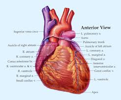 anatomy of the heart questions body anatomy partha shah 39 s anatomy and physiology blog sheep heart disection