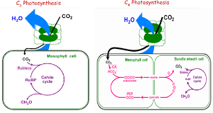 A Schematic Diagram Of C3 And C4 Photosynthesis Download