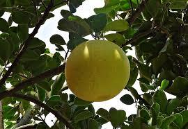 「グレープフルーツ」の画像検索結果