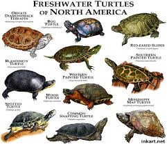 Freshwater Turtles Of North America Freshwater Turtles
