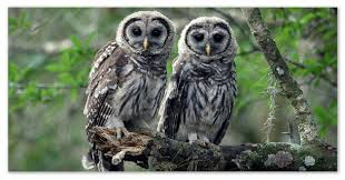 Доклад о совах материал для сообщения о птицах России Ястребиные совы на ветках