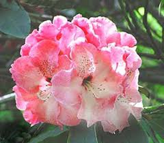 Rhododendron Arnold Piper-vivid purplish-red fading to rose with age